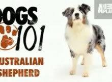 AustralianShep